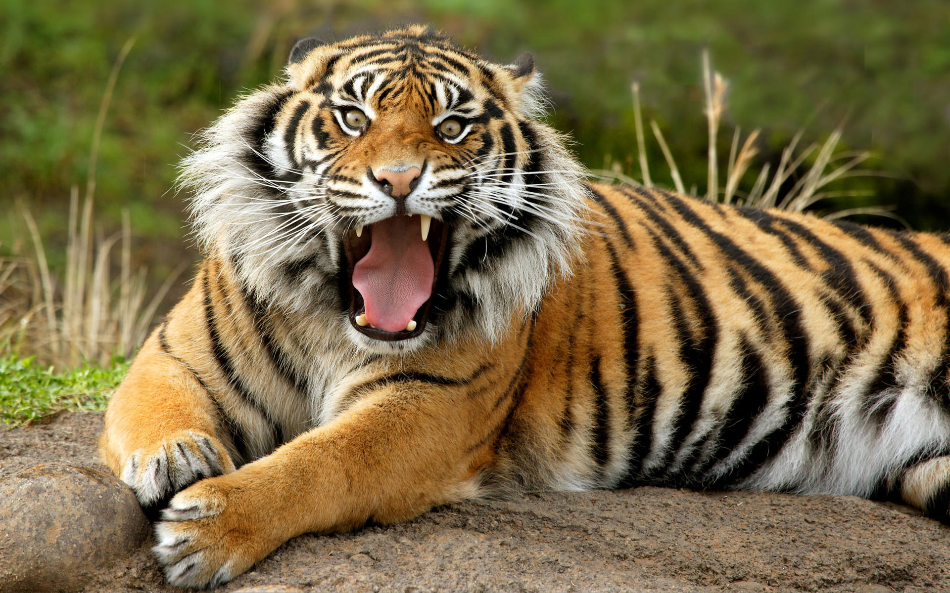 Hd Tiger Pictures Tiger Wallpapers: Tiger Wallpapers Hd Free Download