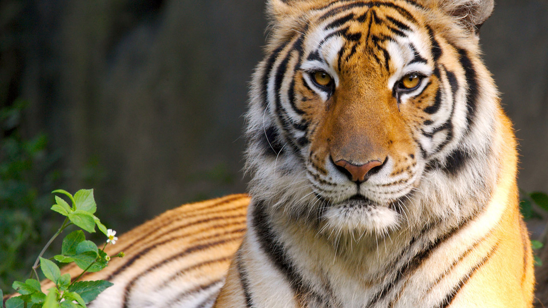 Tiger wallpapers hd free download - Best animal wallpaper download ...