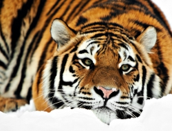 Tiger full hd