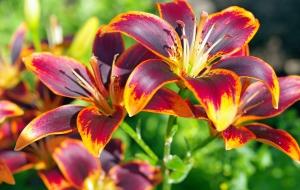 Lily Flowers Widescreen