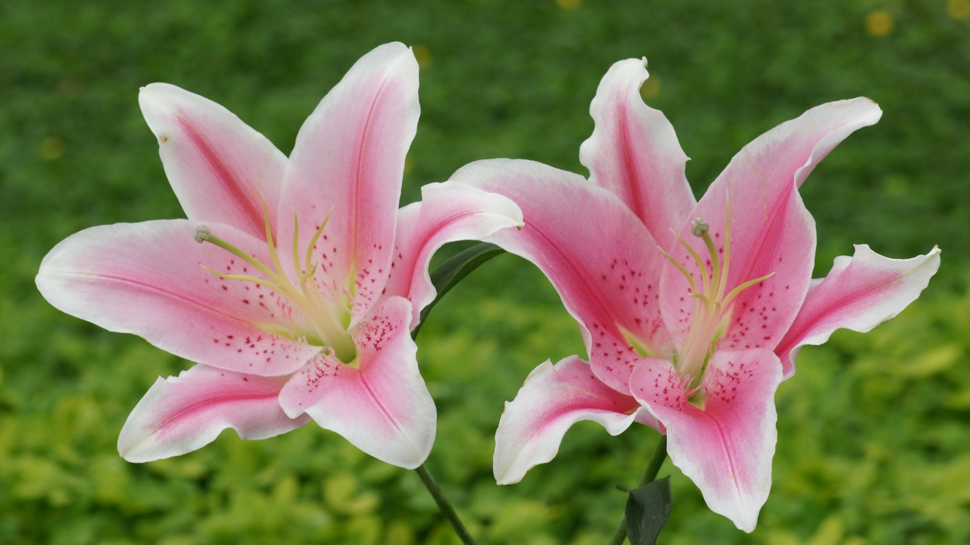 lily flowers, Natural flower