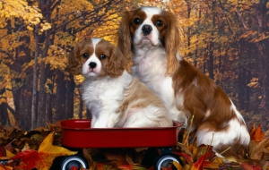 Cavalier King Charles Spaniel Background