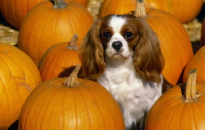 Cavalier King Charles Spaniel Computer Wallpaper