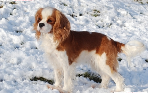 Cavalier King Charles Spaniel HD Background