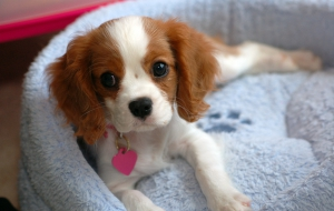 Cavalier King Charles Spaniel HD Wallpaper