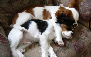 Cavalier King Charles Spaniel High Definition