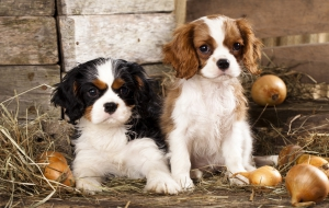 Cavalier King Charles Spaniel High Quality Wallpapers