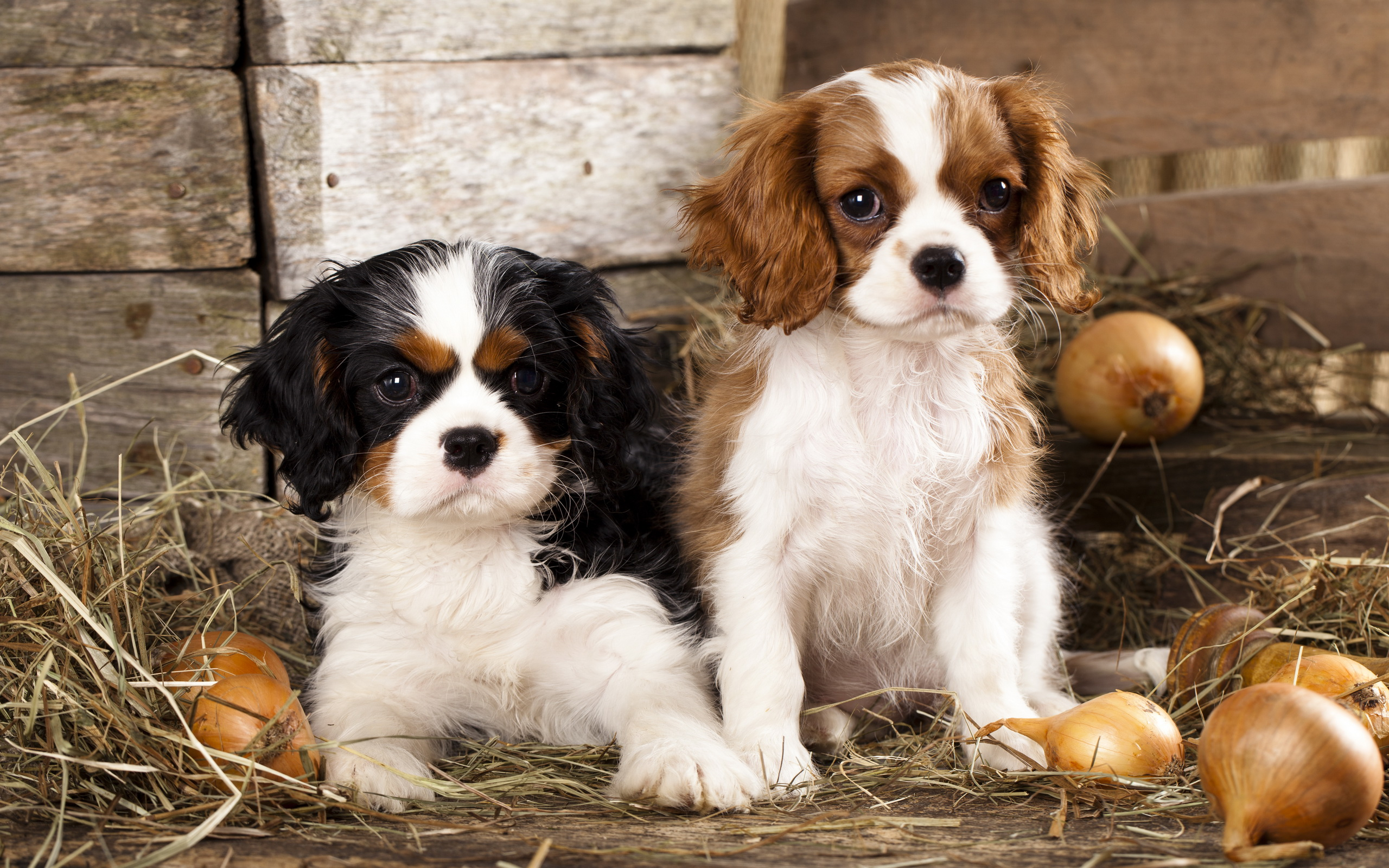 Pictures Of King Charles Dogs