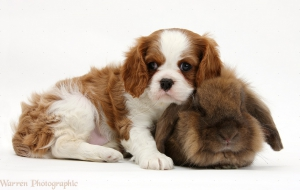 Cavalier King Charles Spaniel Images
