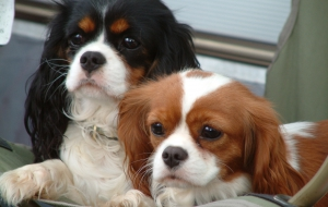 Cavalier King Charles Spaniel Photos