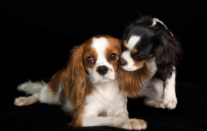 Cavalier King Charles Spaniel Wallpapers HD