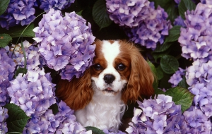 Cavalier King Charles Spaniel Widescreen