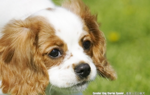 Cavalier King Charles Spaniel For Desktop