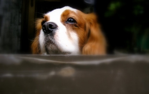 Cavalier King Charles Spaniel Full HD