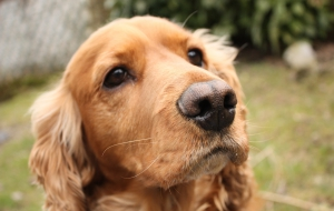 Cocker Spaniel Images