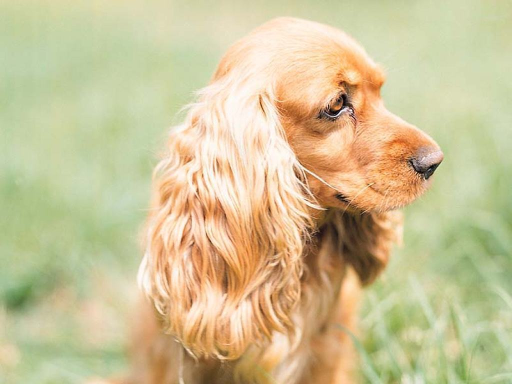 picture of cocker spaniel dog cocker spaniel wallpapers high resolution and quality download 5692