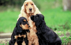 Cocker Spaniel Wallpapers HD