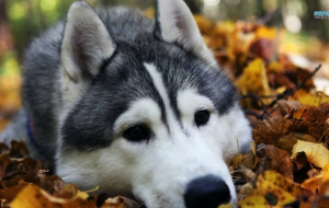 Husky Background