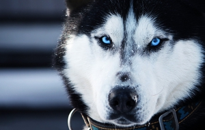 Husky Wallpapers