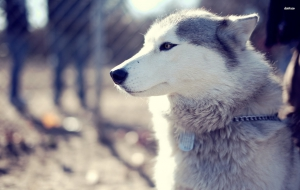 Husky Wallpapers HD