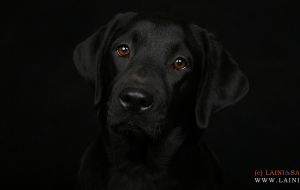 Labrador Retriever Computer Wallpaper