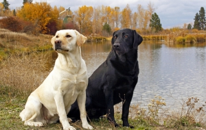 Labrador Retriever HD Desktop