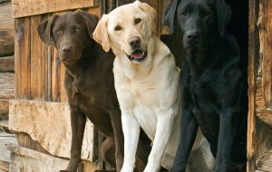 Labrador Retriever Images