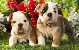 Old English Bulldog High Definition Wallpapers