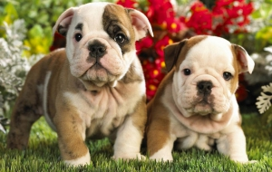 Old English Bulldog High Quality Wallpapers
