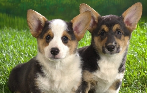 Pembroke Welsh Corgi Background