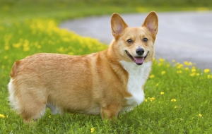Pembroke Welsh Corgi Computer Wallpaper