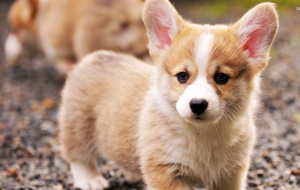 Pembroke Welsh Corgi HD Background