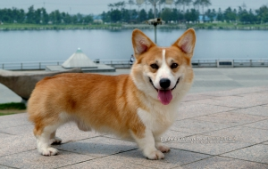 Pembroke Welsh Corgi High Definition