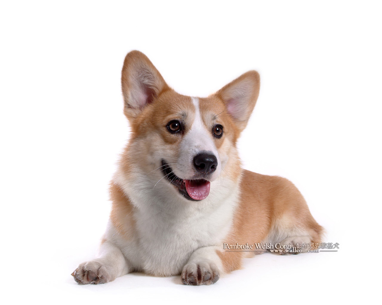 Can Corgis Be Service Dogs