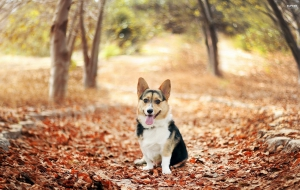 Pembroke Welsh Corgi High Quality Wallpapers