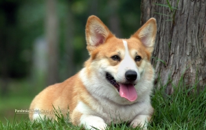 Pembroke Welsh Corgi Wallpaper