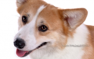 Pembroke Welsh Corgi Full HD