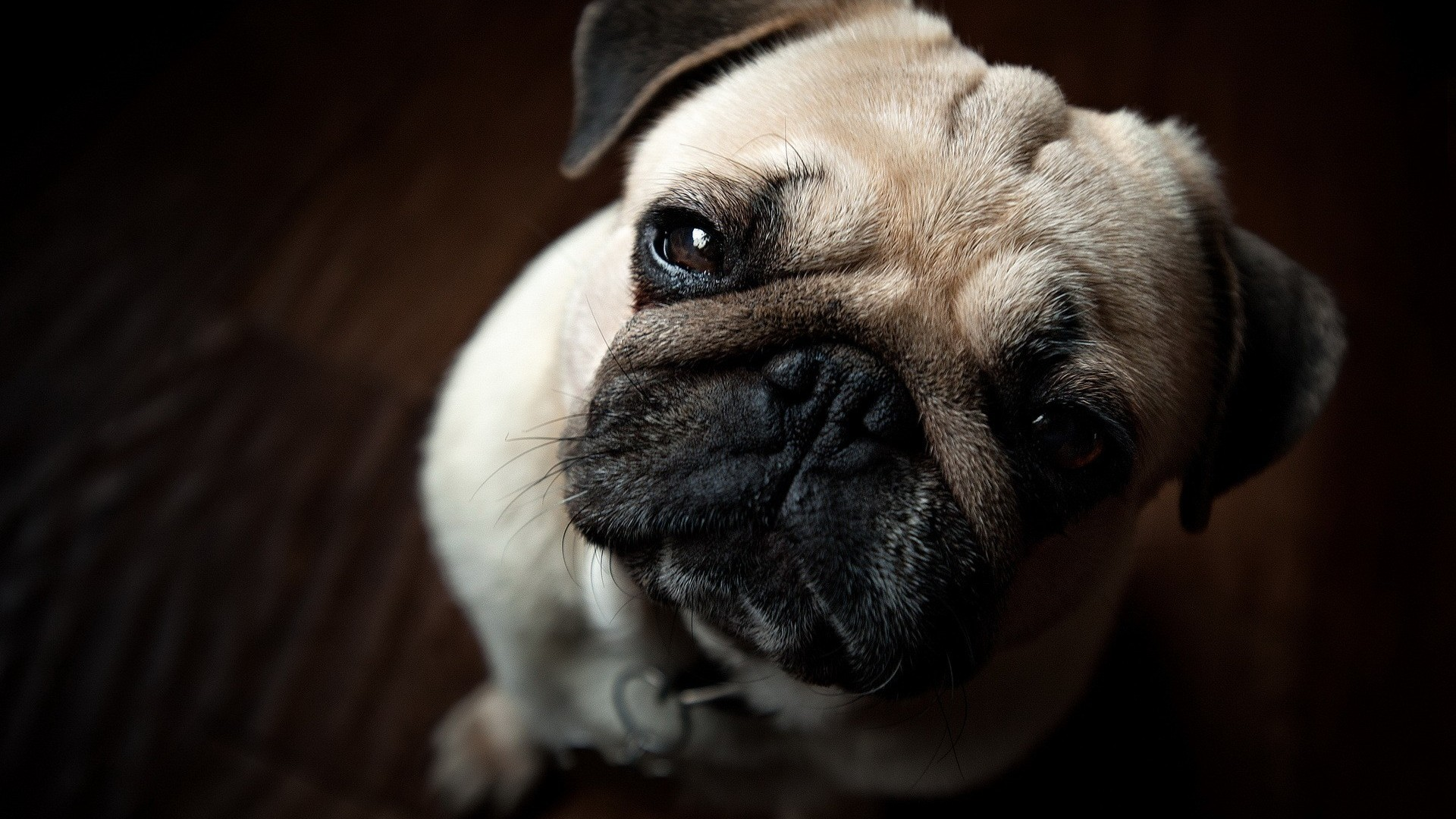 Download Pug Dog Hd Wallpaper Gallery: Pug Wallpapers High Resolution And Quality Download