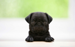 Pug High Definition Wallpapers