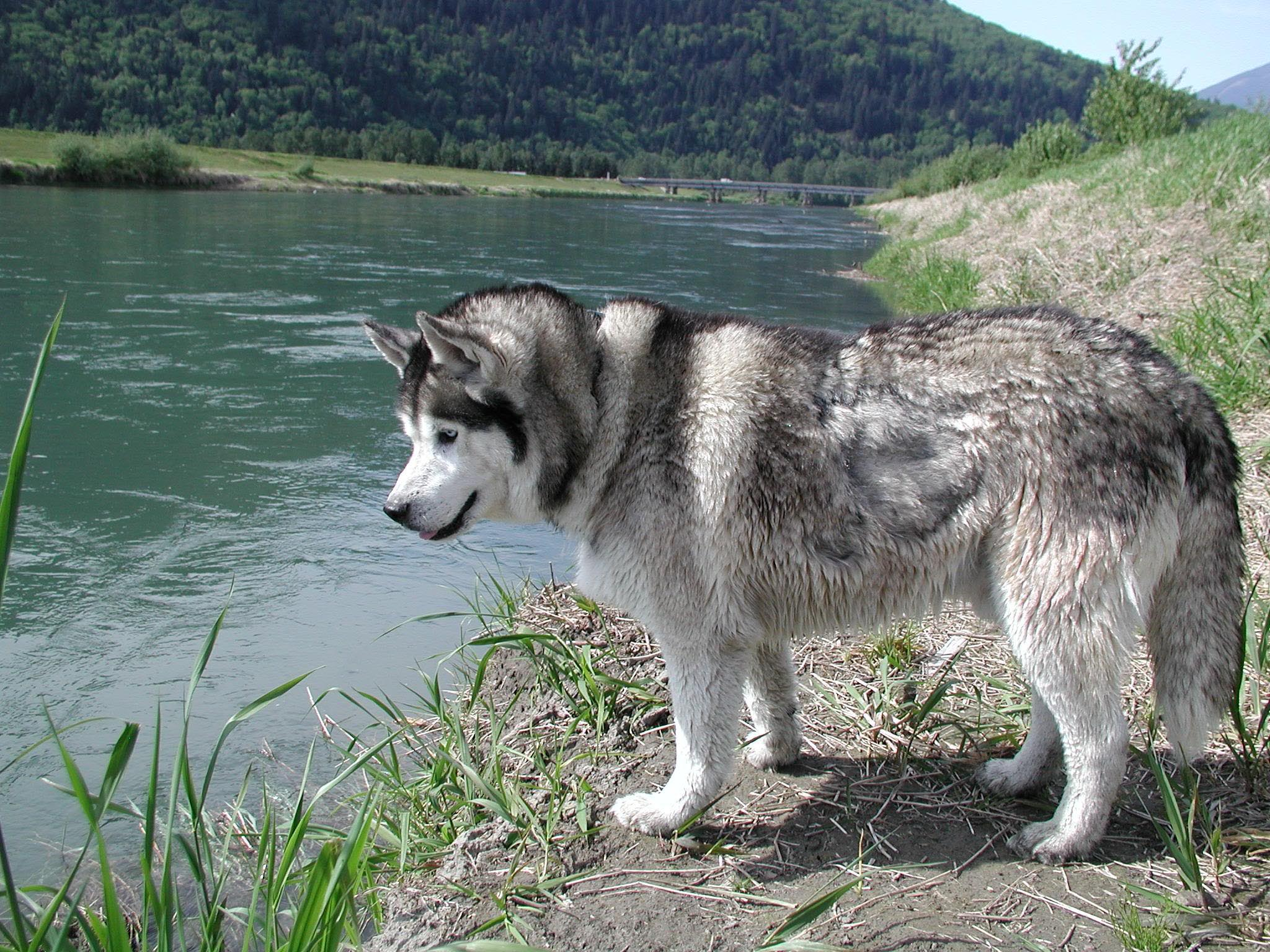 siberian husky wallpapers high resolution and quality download