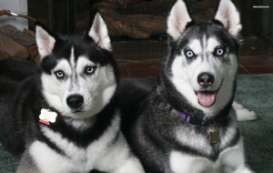 Siberian Husky High Definition Wallpapers