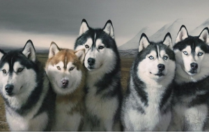 Siberian Husky Wallpapers HD