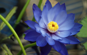 Blue Flower HD