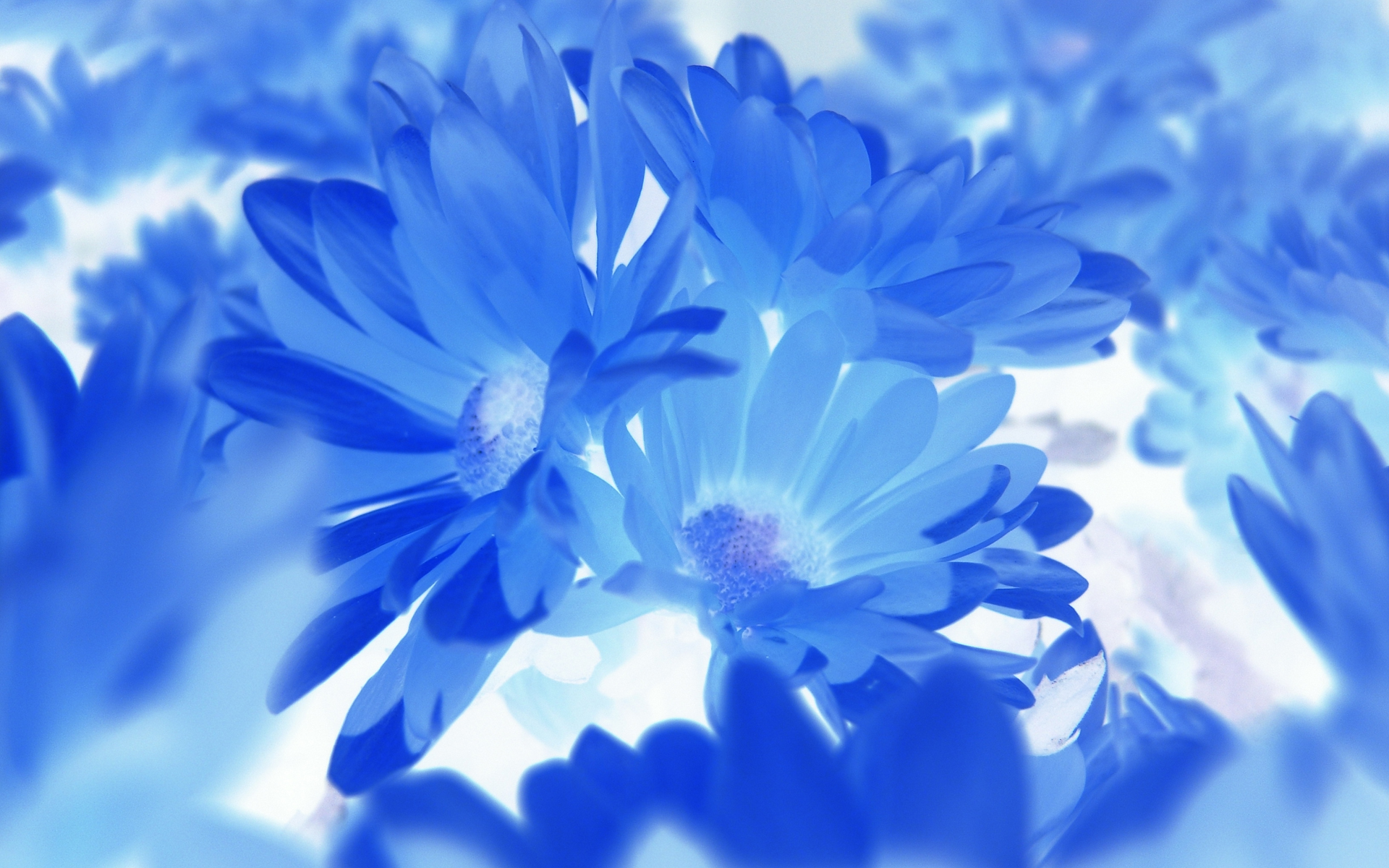 blue flower hd wallpapers