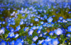 Blue Flower Wallpapers