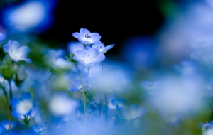Blue Flower For Desktop