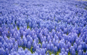 Blue Flower Full HD