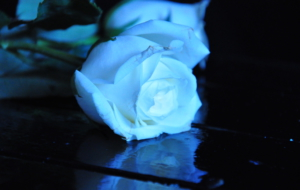 Blue Rose Desktop