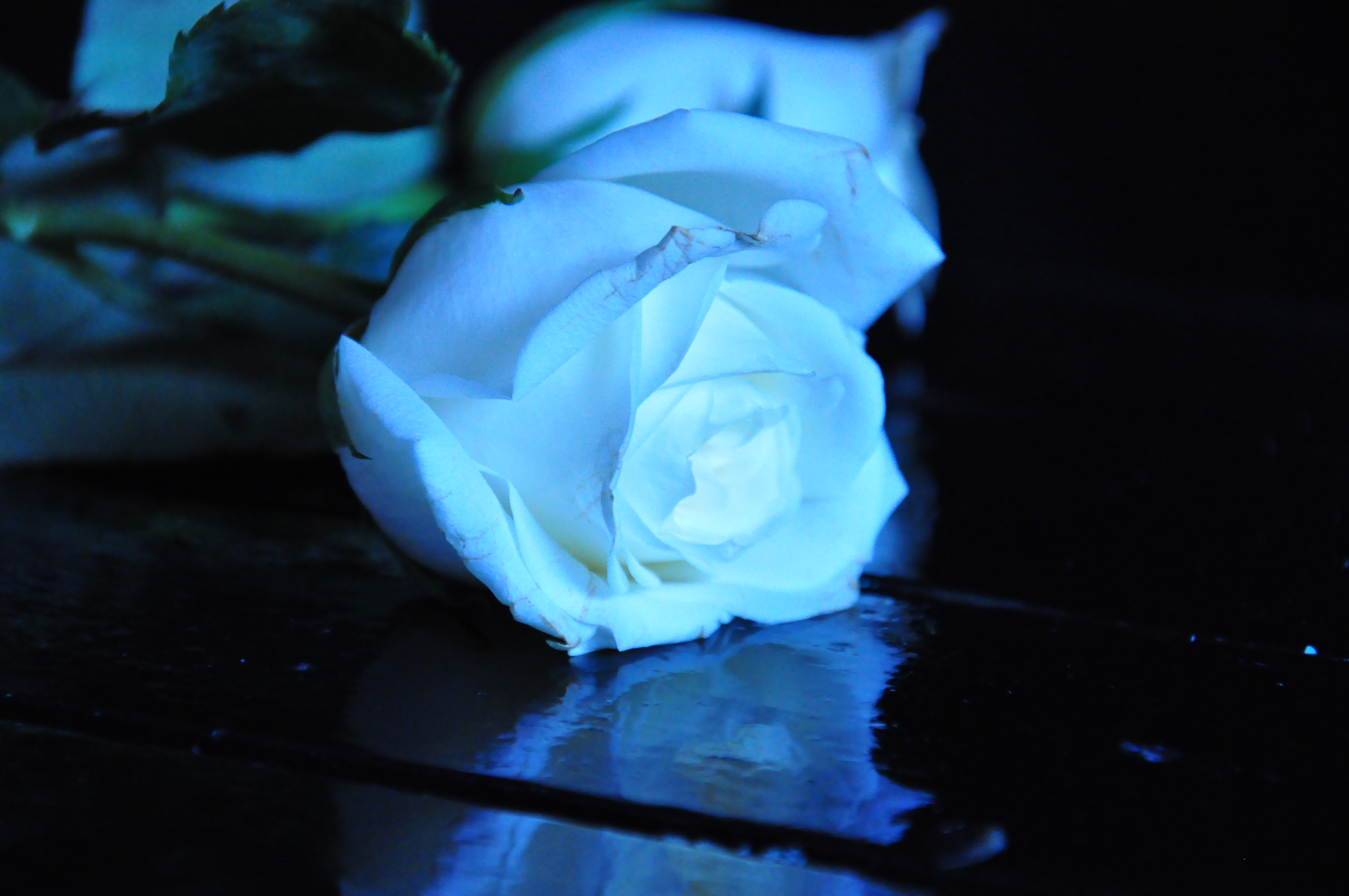 Image Gallery light blue roses wallpaper