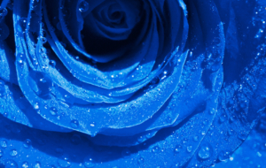 Blue Rose HD